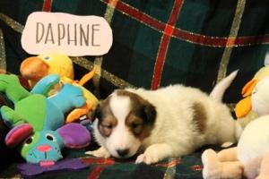 Daphne 2