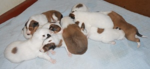 Puppies at two weeks