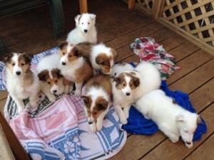 Collie puppy groupies 1