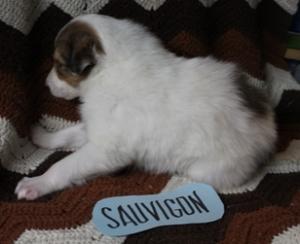 Sauvigon 1